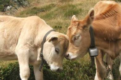 Facts about cows we bet you never knew
