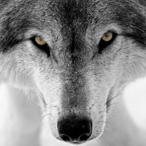 Oroscopo sciamanico: lupo