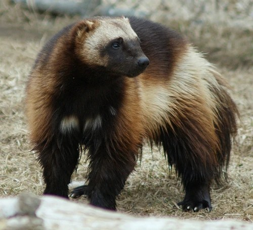 For who don´t know The wolverine, pronounced /ˈwʊlvəriːn/, Gulo gulo (Gulo is Latin for