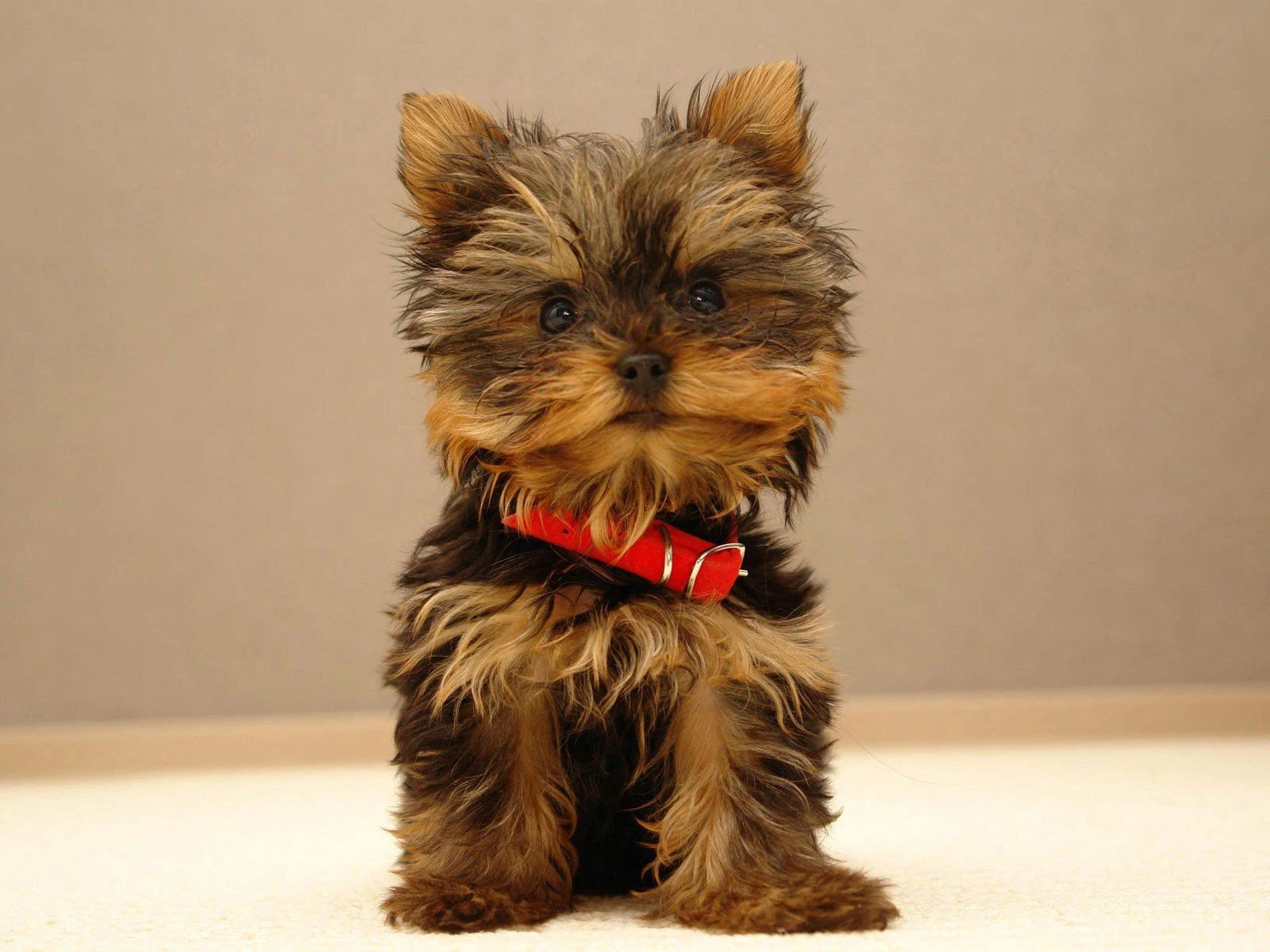 No Fuss Yorkie Teacup Secrets Revealed Teacup Yorkie Puppies For