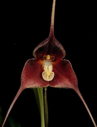 https://i2.wp.com/images.wikia.com/orchids/en/images/e/ed/Dracula_brangeri.jpg