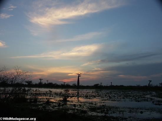 Baobás ao pôr do sol (Morondava)