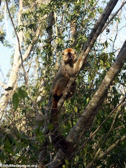 Eulemur fulvus rufus in tree at Kirindy(Kirindy)