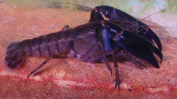 Gramastacus lacus