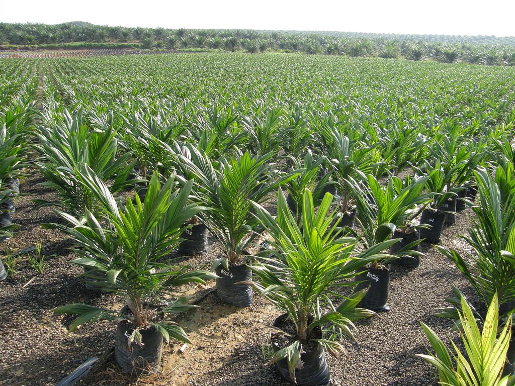 L Olio Di Palma Puo Essere Sostenibile