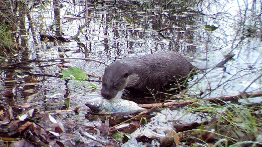 (foto: UGA. La lontra europea è stata fotografata dai ricercatori dell'Università della Georgia mentre catturava un'esca)