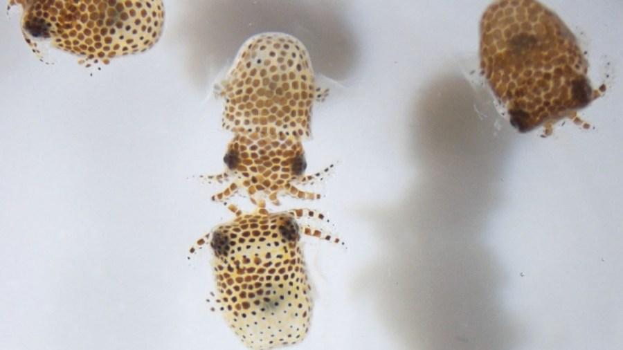 I piccoli calamari della Nasa (Foto: Nasa)