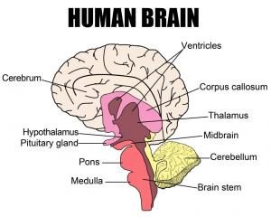What is a Brain Stem Stroke? (with pictures)