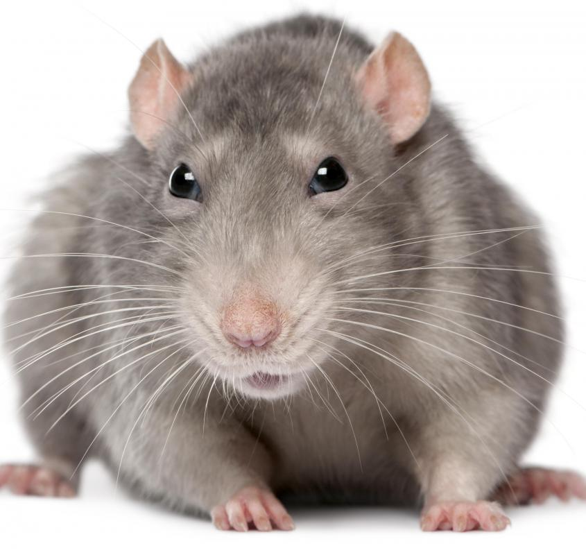 Largest Discovered World Rat