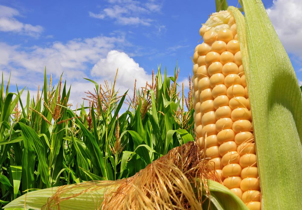 Image result for what is corn