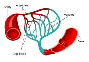 What are the Blood Vessels of the Brain? (with pictures)