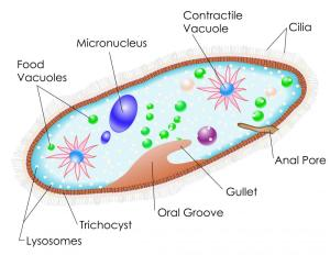 What is Paramecium? (with pictures)