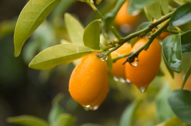 Kumquats hanging on a branch.