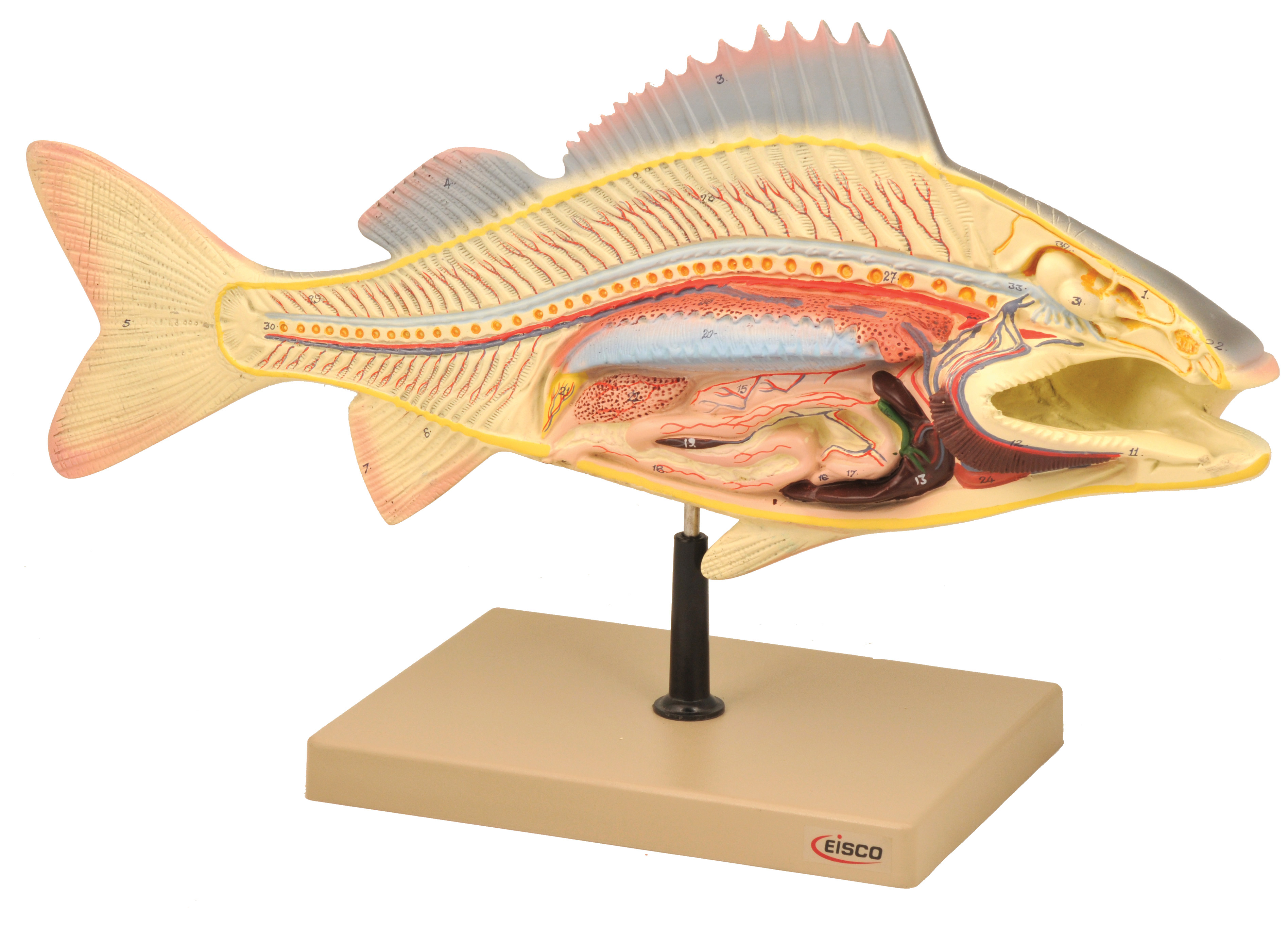 Eisco Labs Fish Dissection Model Perch Fish 19 5 Inches