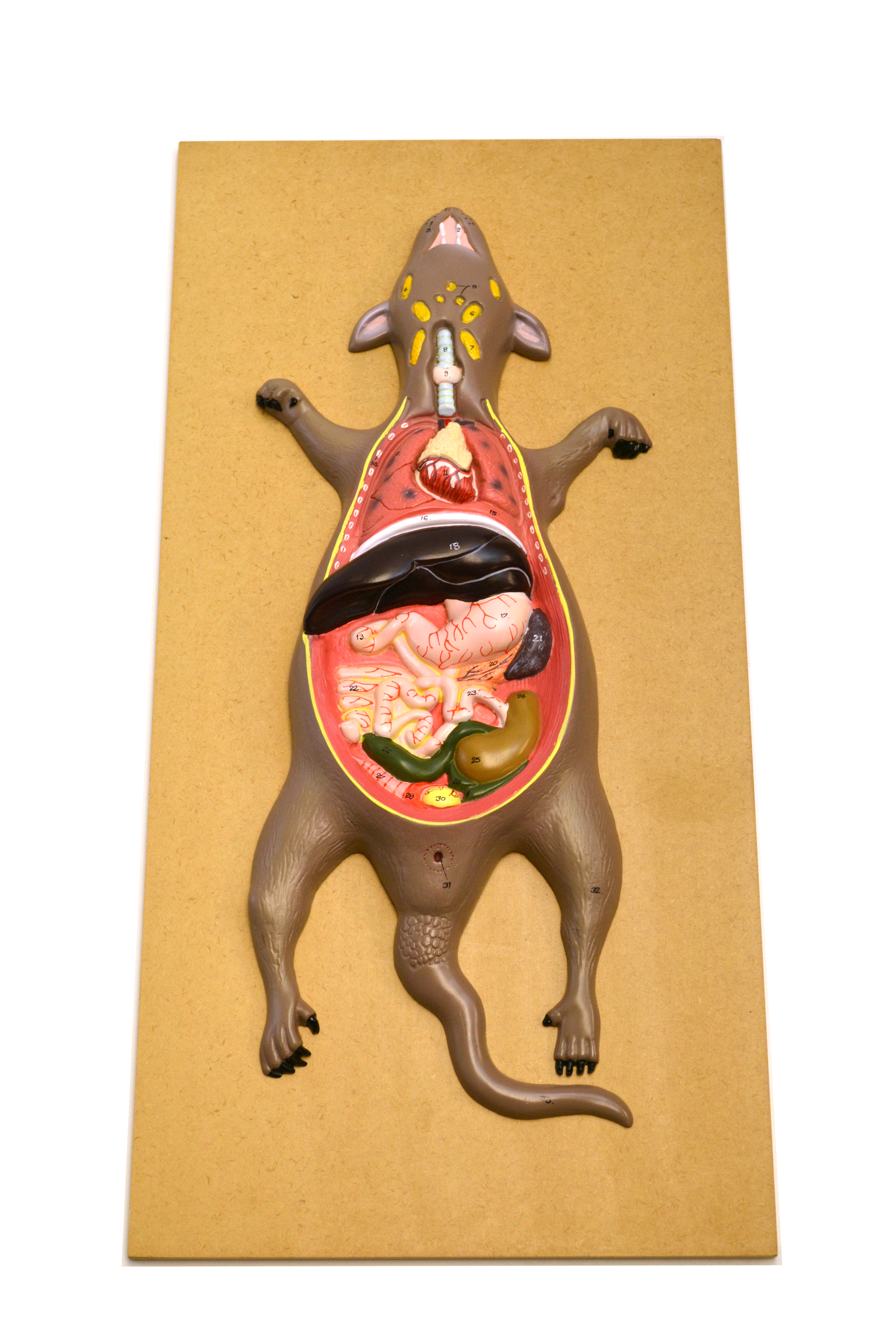 Eisco Labs Male Rat Mouse Dissection Anatomical Model 24