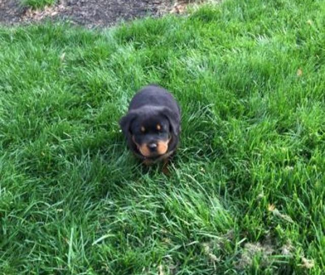 7 Week Old Rottweiler Puppy For Sale