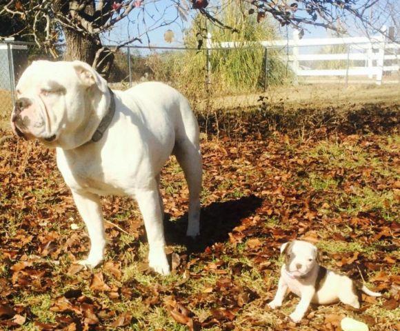 All White American Bulldog