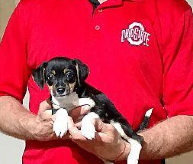 Chloe Toy Fox Terrier Puppy Female
