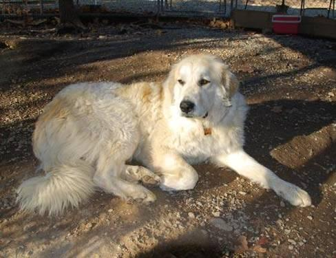 Great Pyrenees Myah Extra Large Adult Female Dog For Sale In Mountain Home Arkansas