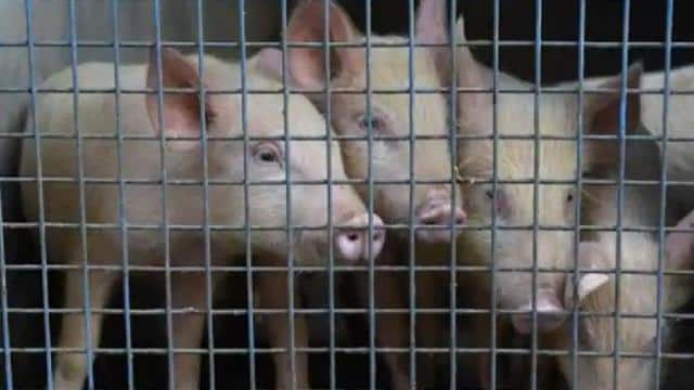 More than 1000 dangerous sources of coronavirus scare in China with new African swine fever