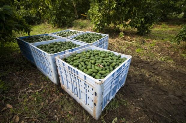 Израильское авокадо дает богатые урожаи