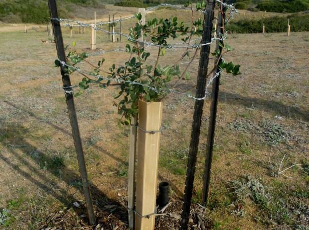 Молодой дуб, защищенный оградой