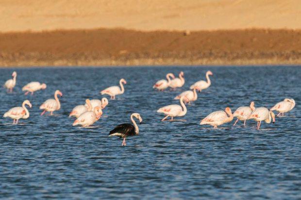 Тот же фламинго 4 года спустя. Фото: Ави Меир