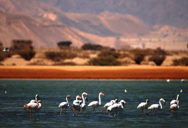 """Фламинго на соляных прудах. Фото: """"Таярут хевель Эйлат - Элипаз"""""""