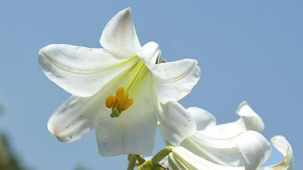 Лилия белоснежная на севере Израиля, в районе речки Келах. Фото: Цахи Авнор