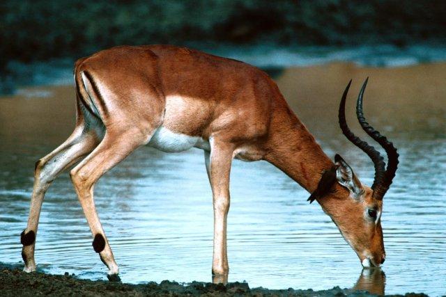 impala-animal-facts