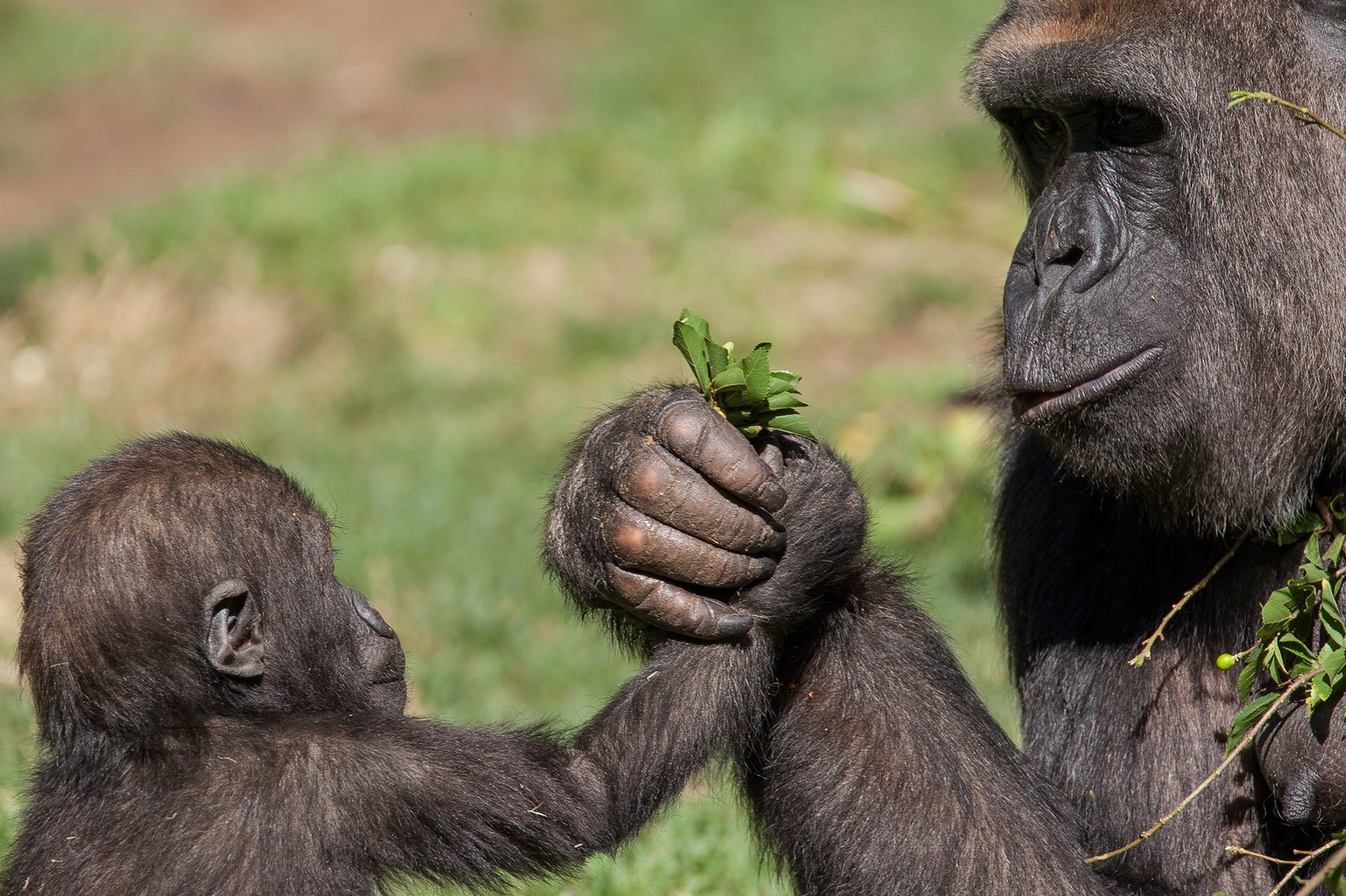 Mother Gorilla And Her Baby Wallpaper And Background Image