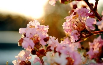 370 Cherry Blossom Hd Wallpapers Background Images
