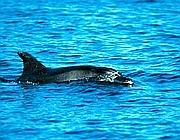 Il delfino Alaimo (Cts)