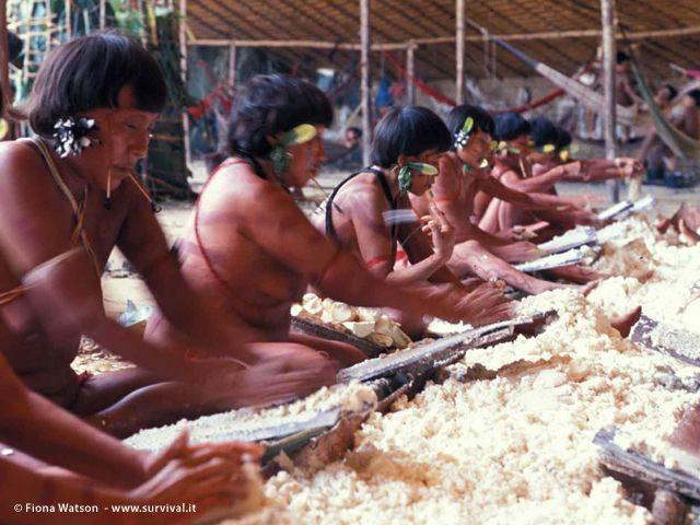 Coltivata in origine dagli indiani sudamericani, la manioca è divenuta oggi l?alimento principale della dieta di circa un miliardo di persone in oltre 100 Paesi del mondo (Joanna Eede ? www.survival.it)