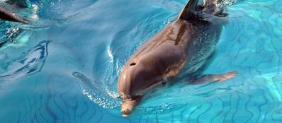 Delfino nella piscina di un parco acquatico