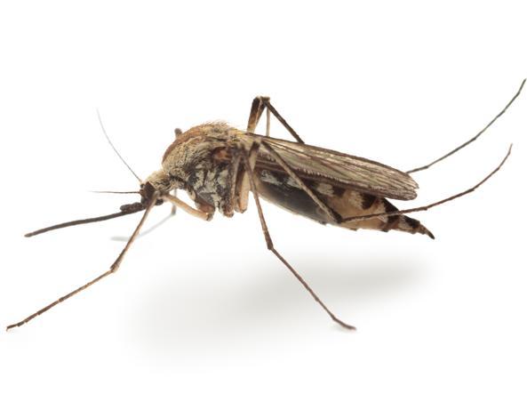 Risultati immagini per zanzare