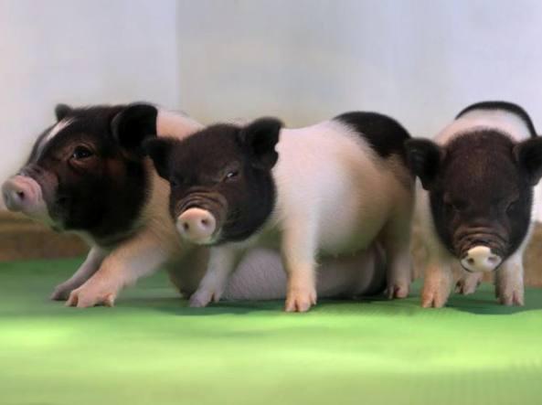 Risultati immagini per maiali con dna modificato