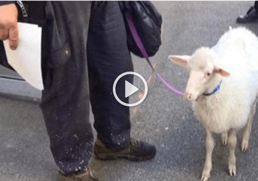 In giro con una pecora al guinzaglio per Palermo ma i carabinieri lo multano