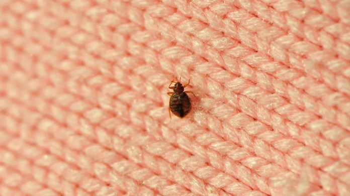Image result for bed bugs