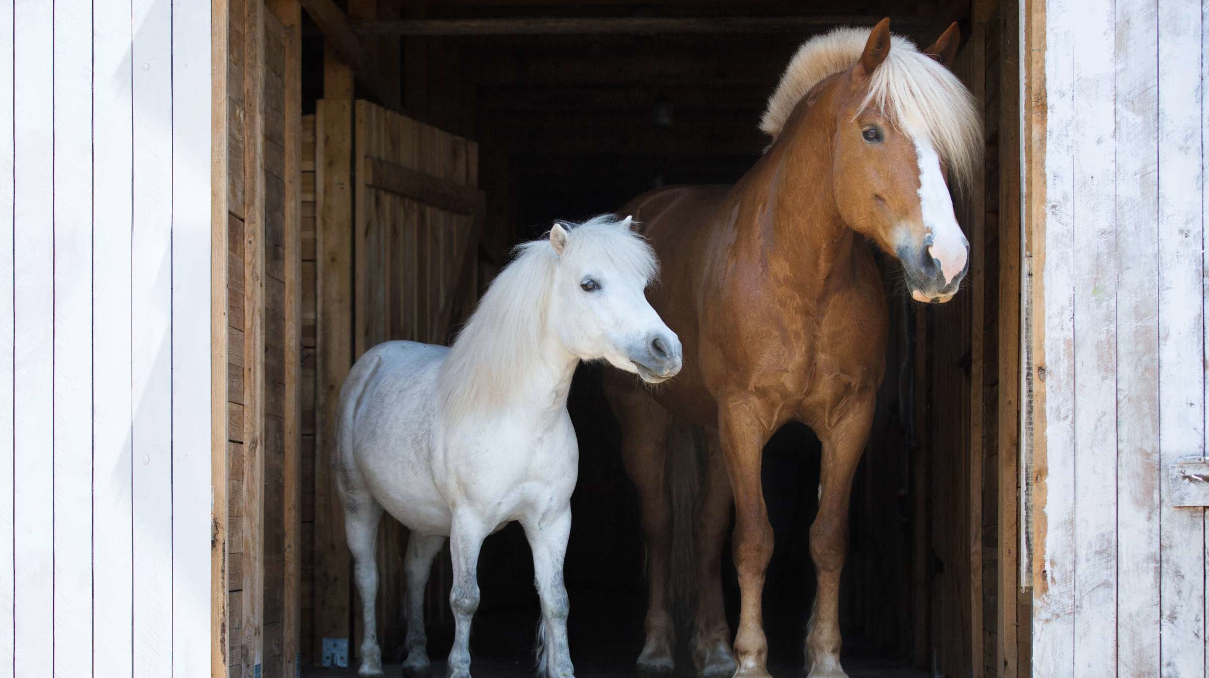 Horses Vs Ponies What S The Difference Mental Floss