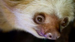 The oldest sloth in the world dies at 43