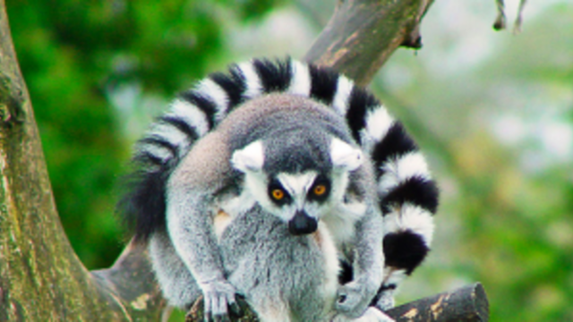 A lemur is not a monkey