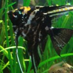 Photo 2 Black Marble Angel Angelfish Rummynose Tetra