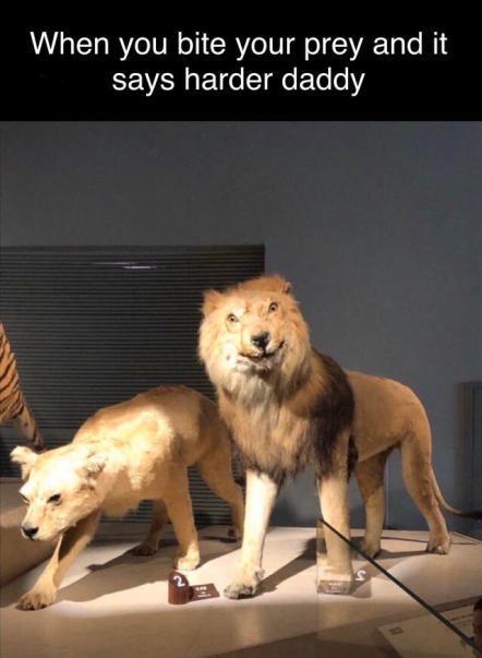 Lion Cub And Tiger Cub Playing Lion Meme On Ballmemes Com