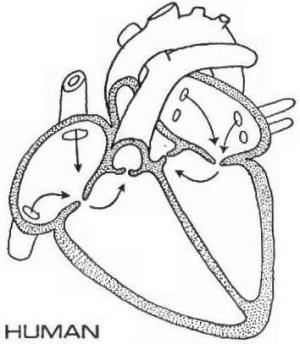 >heart diagram enchanted learning | wallpapersskin