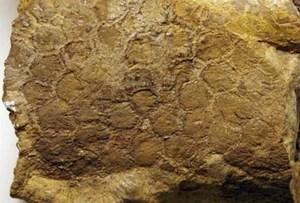 300px Piel de dinosaurio - La Fosilización