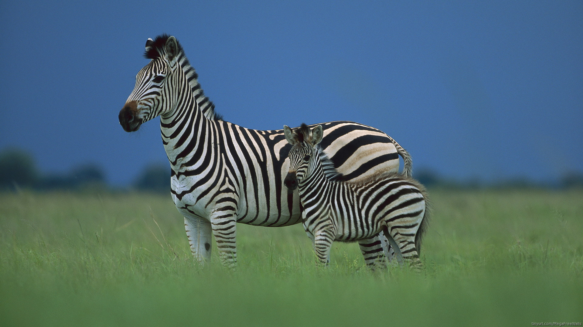 zebra full hd wallpaper and background | 1920x1080 | id:277058