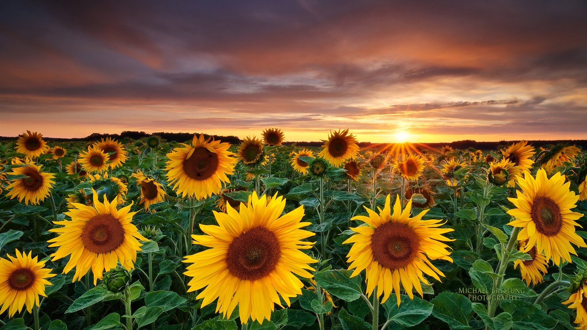 481 Sunflower Hd Wallpapers Background Images Wallpaper Abyss