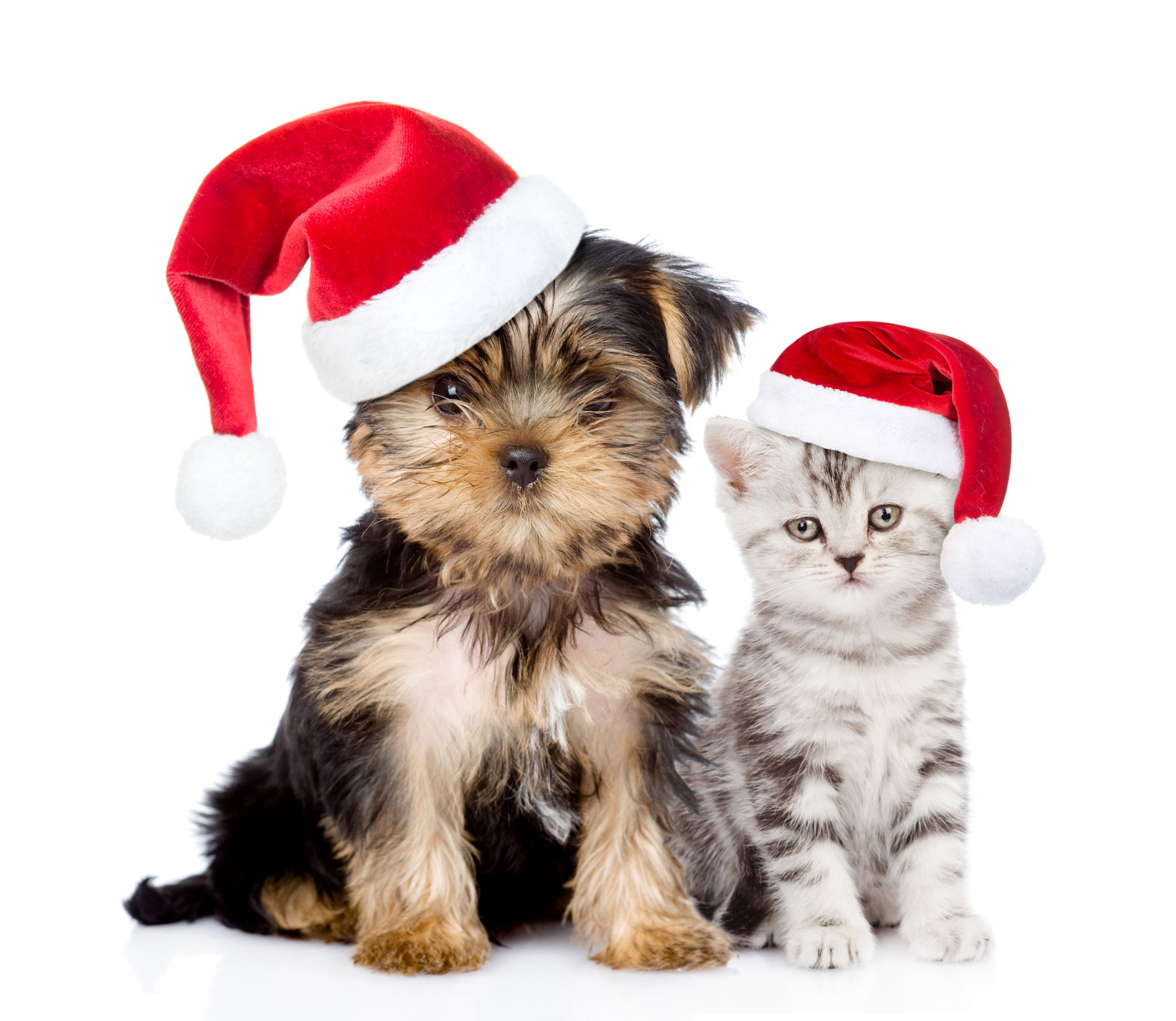 Puppy And Kitten With Santa Hats 4k Ultra HD Fond Dcran
