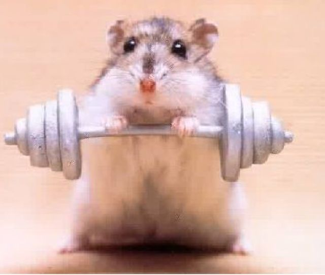 Hamsters Images Hamster Weight Lifting Wallpaper And Background Photos
